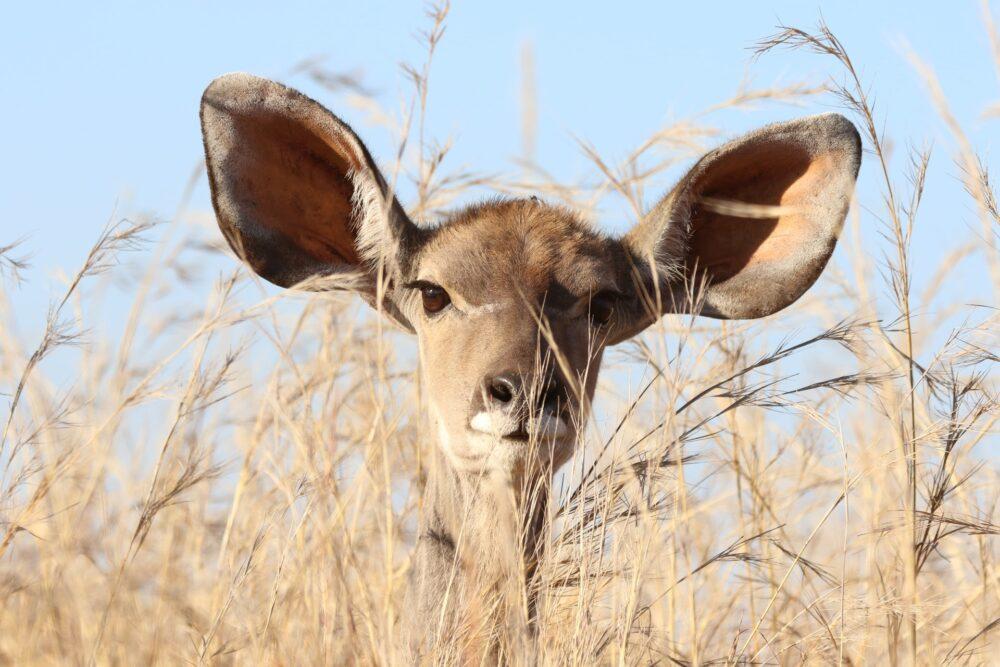 An alert deer
