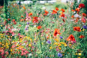 a meadow of flowers